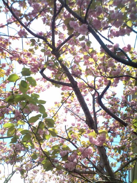 八重桜 (^o^)_b0032617_10384497.jpg