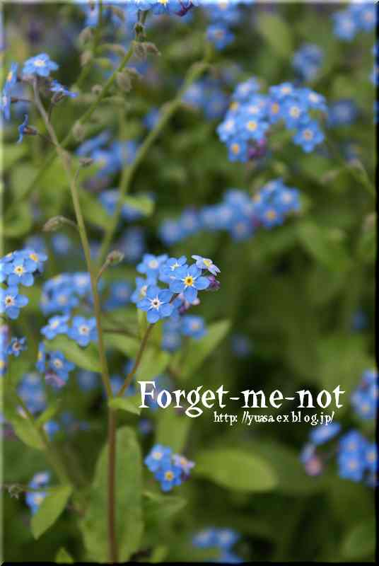 Forget-me-not Ⅱ_f0156117_712397.jpg