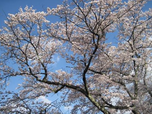 桜情報「大町観光道路満開!」_b0140235_23525634.jpg