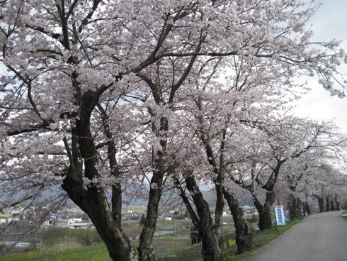桜情報「大町観光道路満開!」_b0140235_2355048.jpg