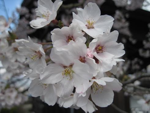 桜情報「大町観光道路満開!」_b0140235_23554169.jpg