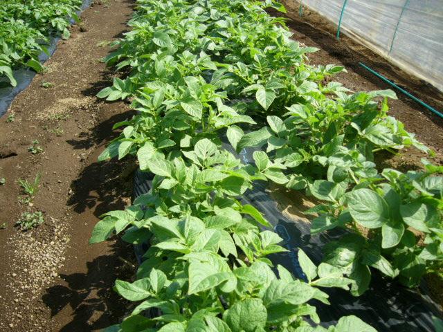 ジャガイモの芽欠き、蔓なしウズラ豆の播種、落花生の畝立て_c0222448_15334759.jpg