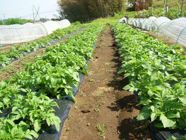 ジャガイモの芽欠き、蔓なしウズラ豆の播種、落花生の畝立て_c0222448_15335443.jpg