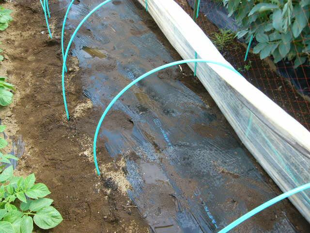 ジャガイモの芽欠き、蔓なしウズラ豆の播種、落花生の畝立て_c0222448_15372062.jpg