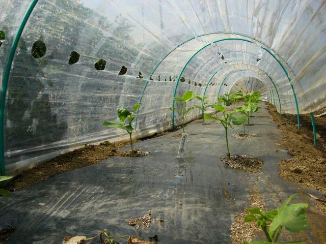 ジャガイモの芽欠き、蔓なしウズラ豆の播種、落花生の畝立て_c0222448_15373940.jpg