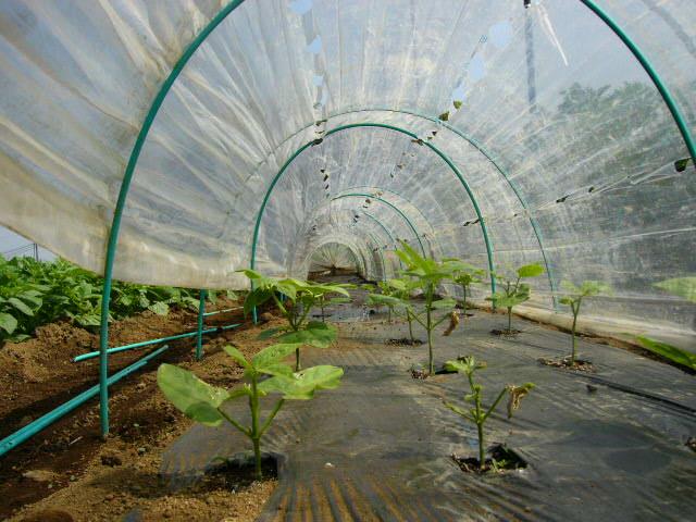 ジャガイモの芽欠き、蔓なしウズラ豆の播種、落花生の畝立て_c0222448_15374686.jpg