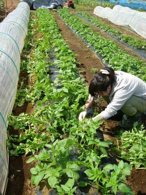 ジャガイモの芽欠き、蔓なしウズラ豆の播種、落花生の畝立て_c0222448_1540133.jpg