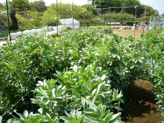 ジャガイモの芽欠き、蔓なしウズラ豆の播種、落花生の畝立て_c0222448_15402691.jpg