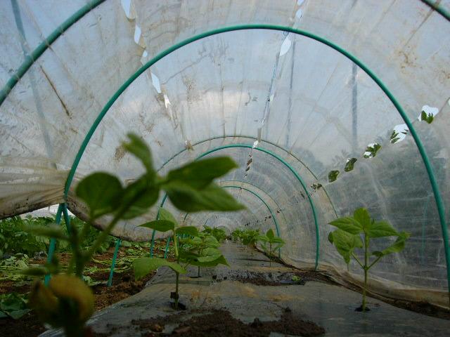 ジャガイモの芽欠き、蔓なしウズラ豆の播種、落花生の畝立て_c0222448_15403646.jpg