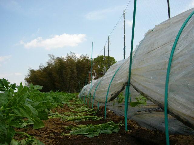 ジャガイモの芽欠き、蔓なしウズラ豆の播種、落花生の畝立て_c0222448_15404616.jpg