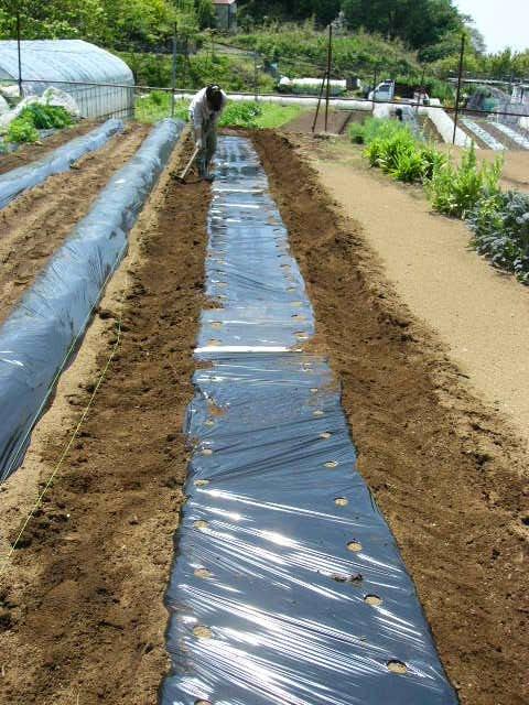 ジャガイモの芽欠き、蔓なしウズラ豆の播種、落花生の畝立て_c0222448_1541644.jpg