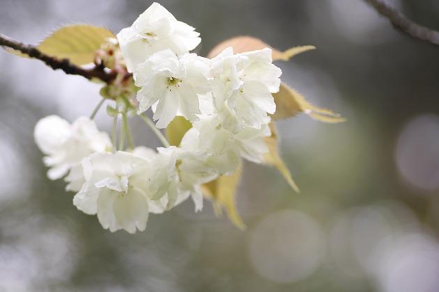 ・・・ウコン桜・・・_c0155950_23522367.jpg