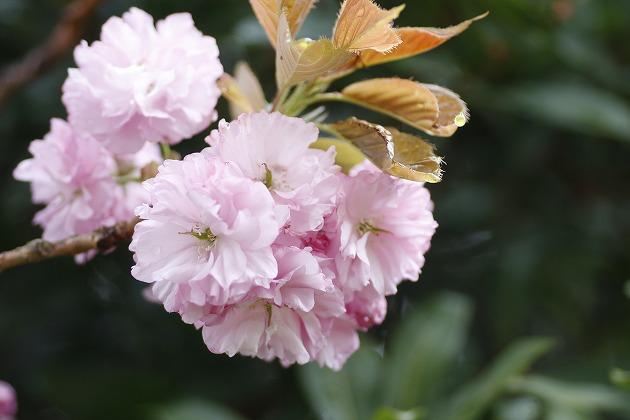 ・・・八重桜・・・_c0155950_23543615.jpg