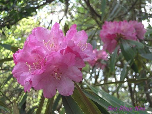 シャクナゲ尾根の石楠花 2010年_a0164068_2254791.jpg