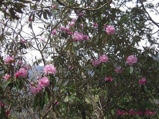 シャクナゲ尾根の石楠花 2010年_a0164068_225548100.jpg