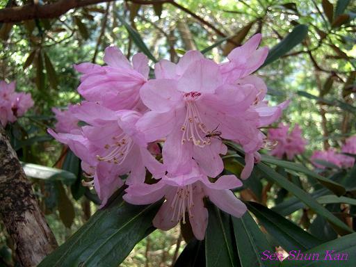 シャクナゲ尾根の石楠花 2010年_a0164068_22573717.jpg