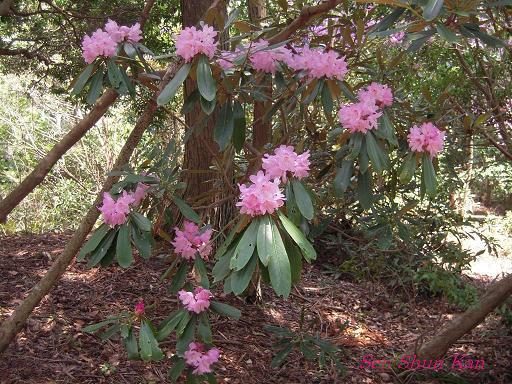 シャクナゲ尾根の石楠花 2010年_a0164068_22581275.jpg