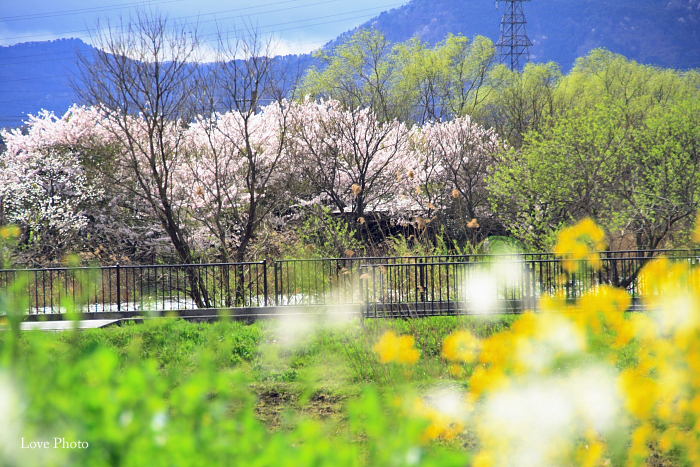 桜を求めて琵琶湖一周ドライブ ⑤_a0116472_14434284.jpg