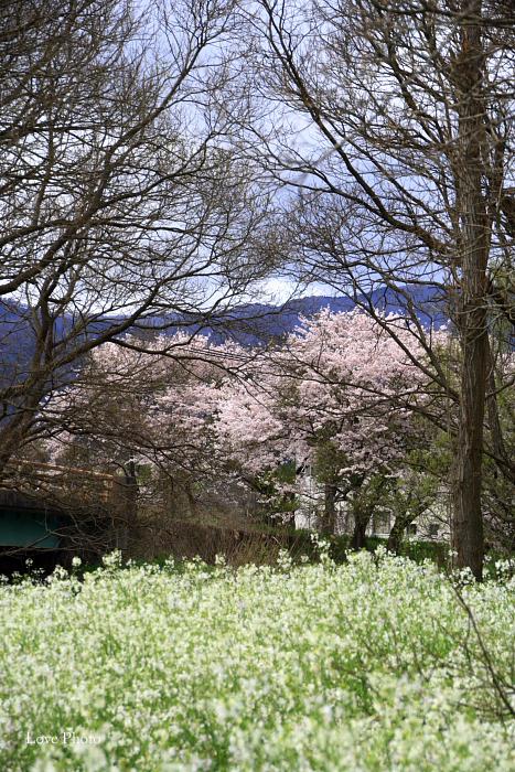 桜を求めて琵琶湖一周ドライブ ⑤_a0116472_14451769.jpg