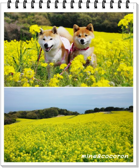 菜の花_a0053987_23302316.jpg