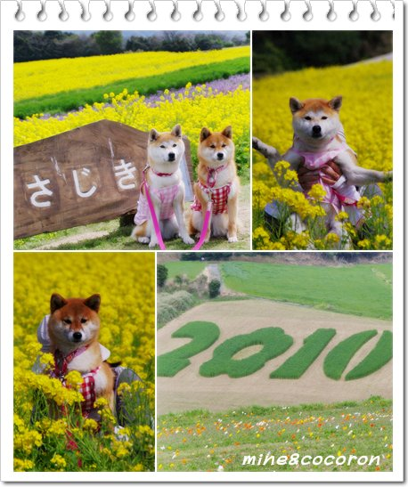 菜の花_a0053987_23304356.jpg