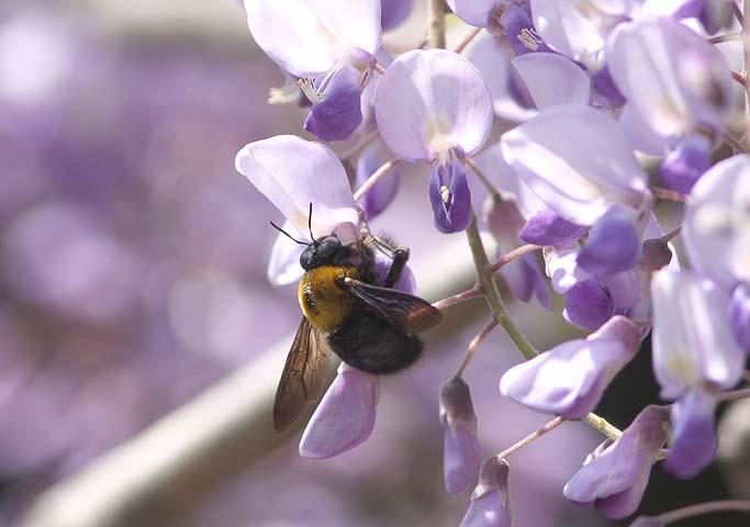 クマバチの画像 p1_21