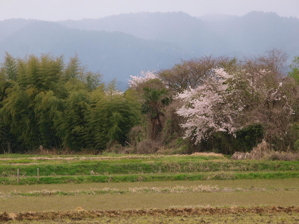 春の琵琶湖を一周ブログ旅 安曇川_f0021869_521282.jpg