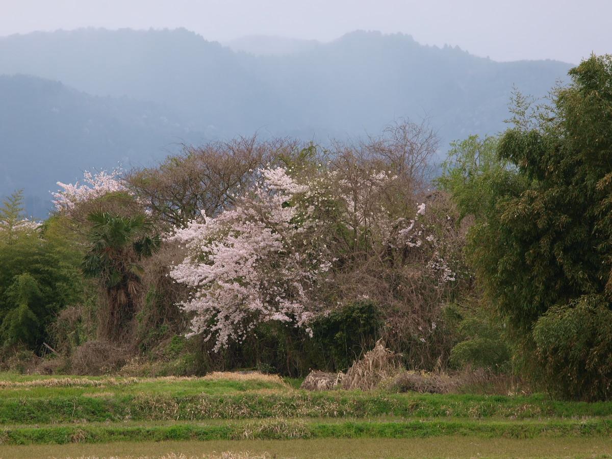 春の琵琶湖を一周ブログ旅 安曇川_f0021869_521298.jpg