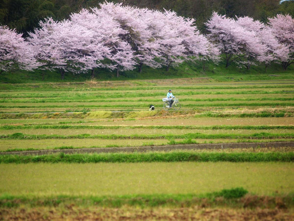 春の琵琶湖を一周ブログ旅 安曇川_f0021869_5242717.jpg