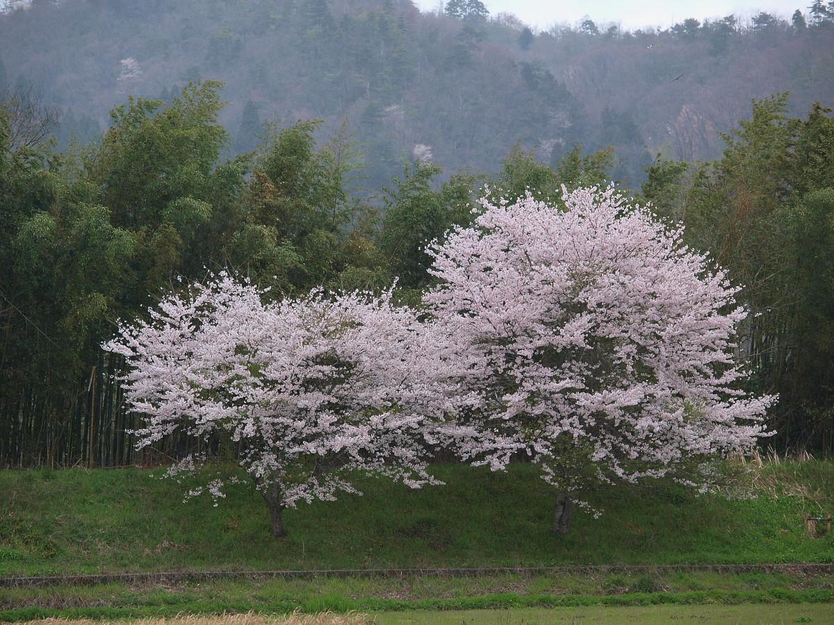 春の琵琶湖を一周ブログ旅 安曇川_f0021869_525545.jpg