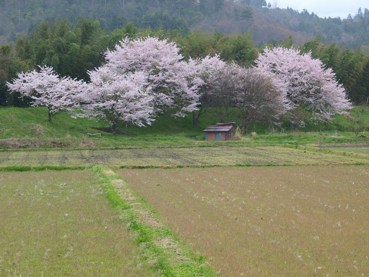 春の琵琶湖を一周ブログ旅 安曇川_f0021869_5255497.jpg