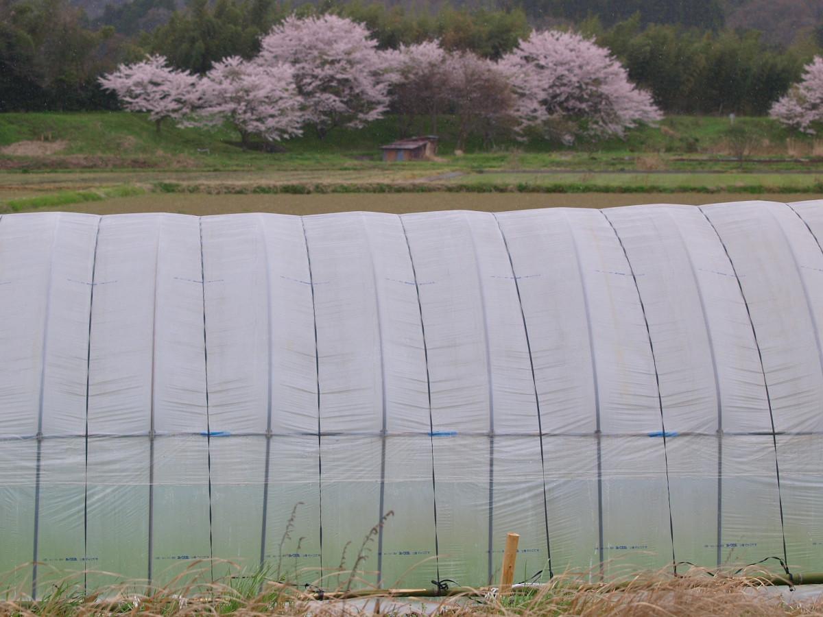 春の琵琶湖を一周ブログ旅 安曇川_f0021869_5261034.jpg