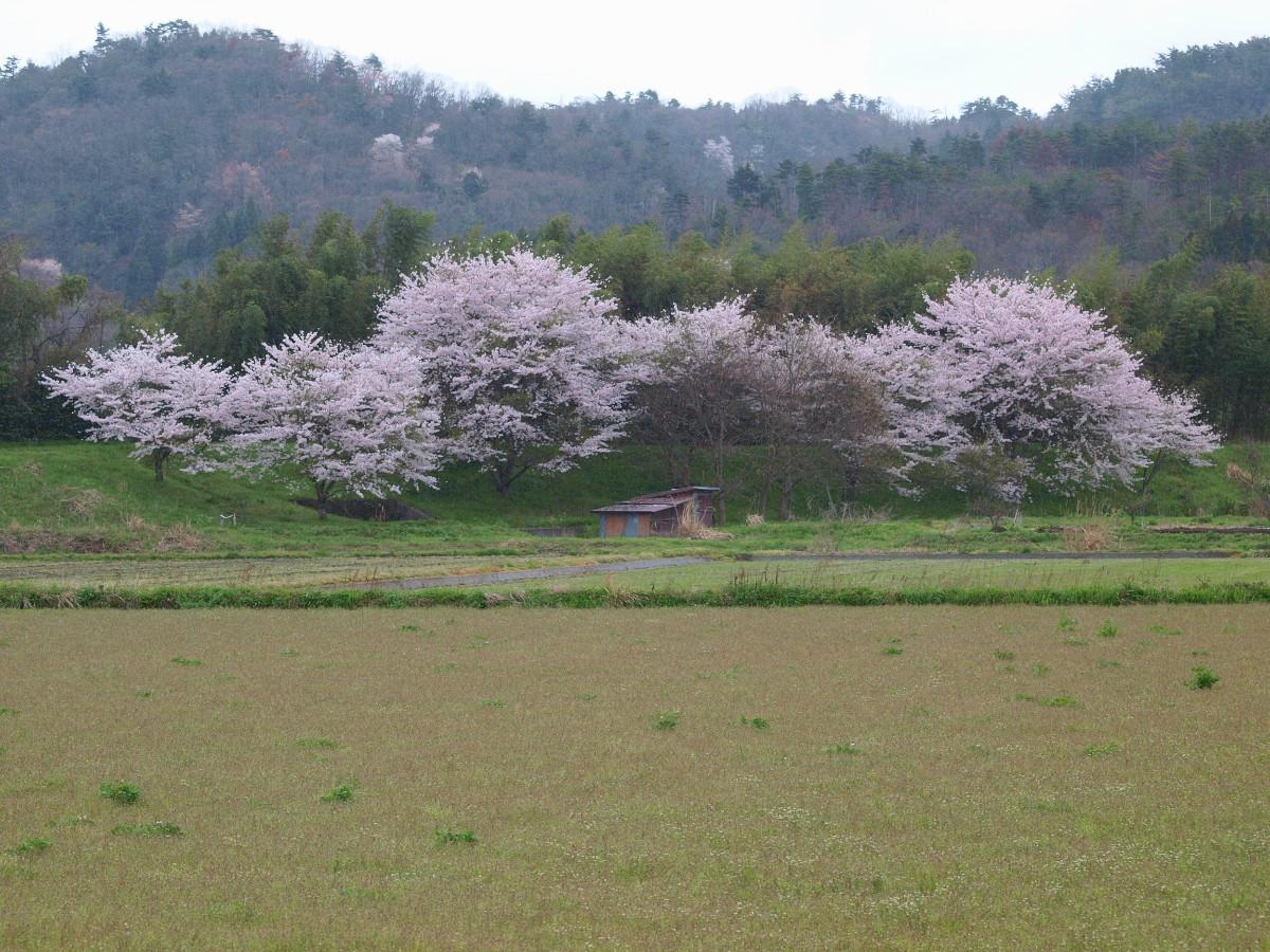 春の琵琶湖を一周ブログ旅 安曇川_f0021869_5264685.jpg