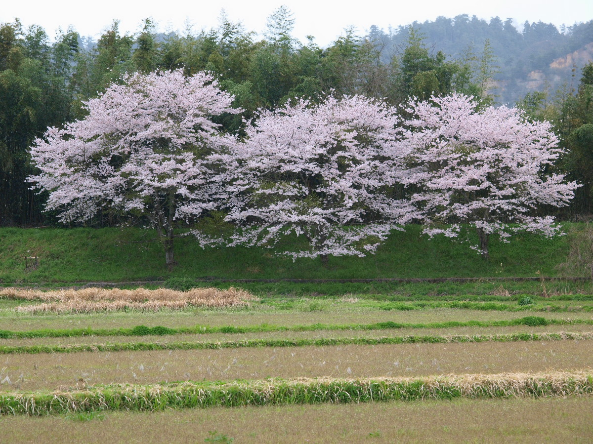 春の琵琶湖を一周ブログ旅 安曇川_f0021869_5272424.jpg