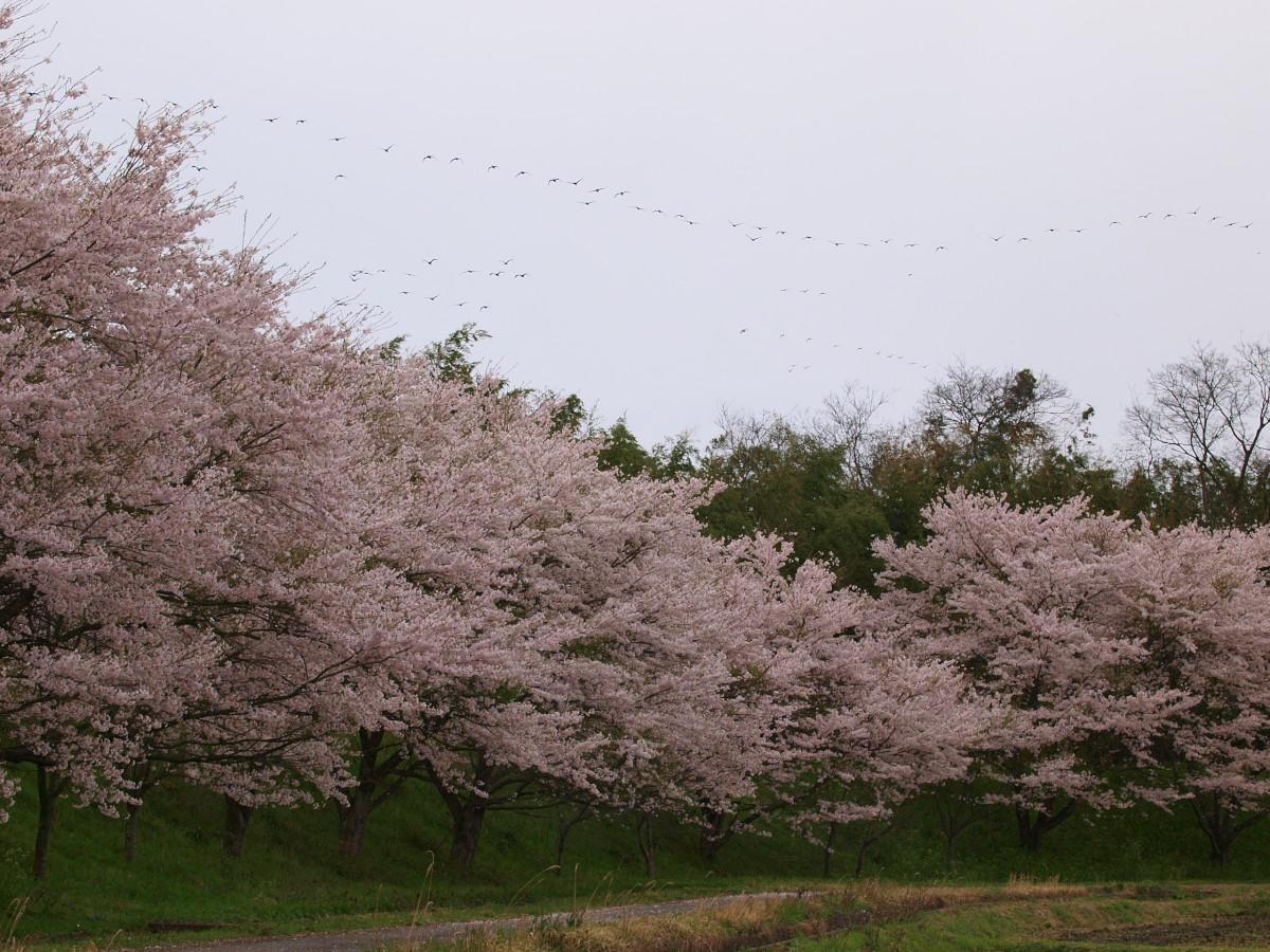 春の琵琶湖を一周ブログ旅 安曇川_f0021869_5281468.jpg