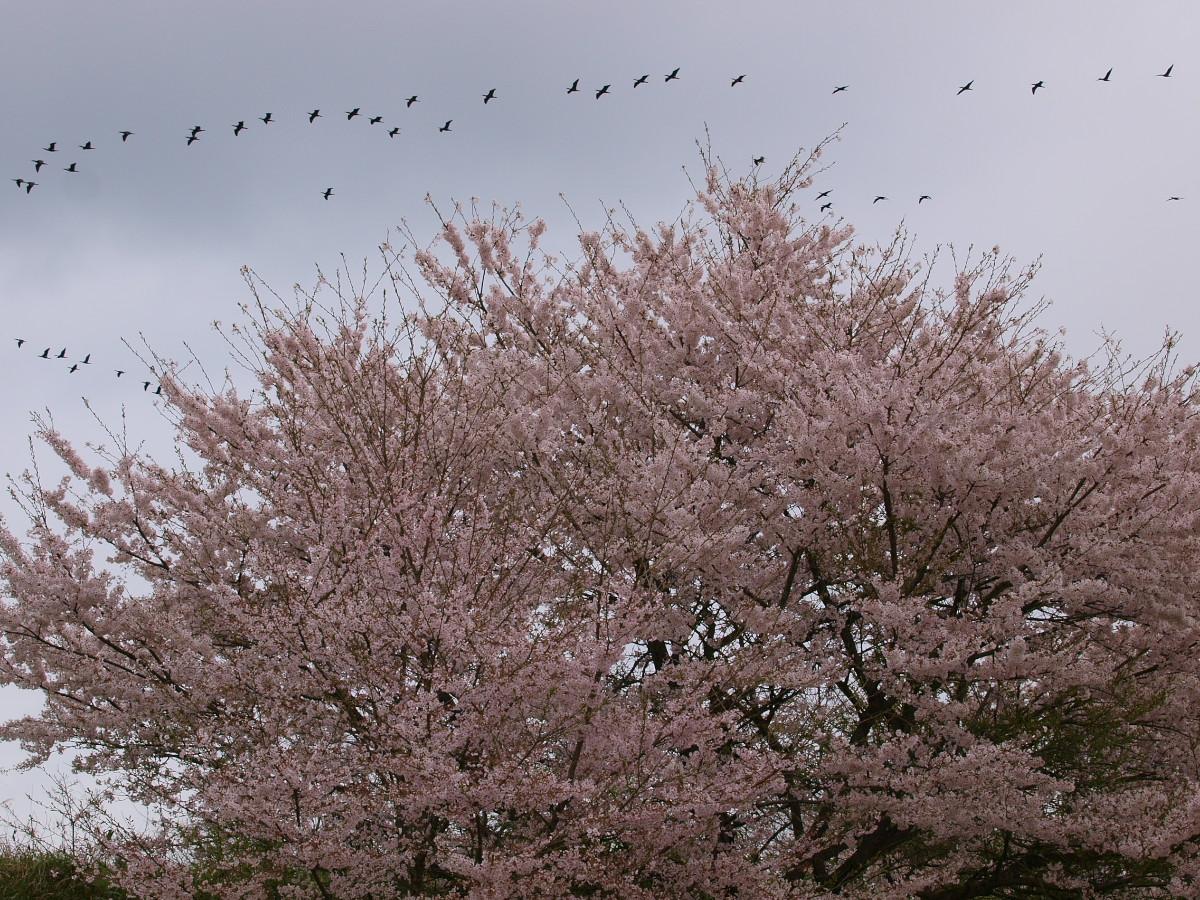 春の琵琶湖を一周ブログ旅 安曇川_f0021869_528316.jpg