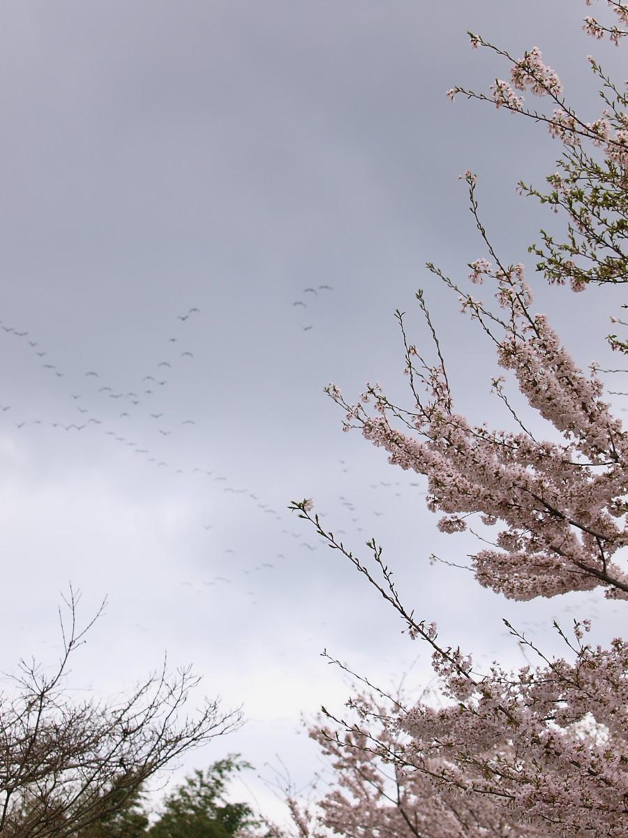 春の琵琶湖を一周ブログ旅 安曇川_f0021869_5292454.jpg