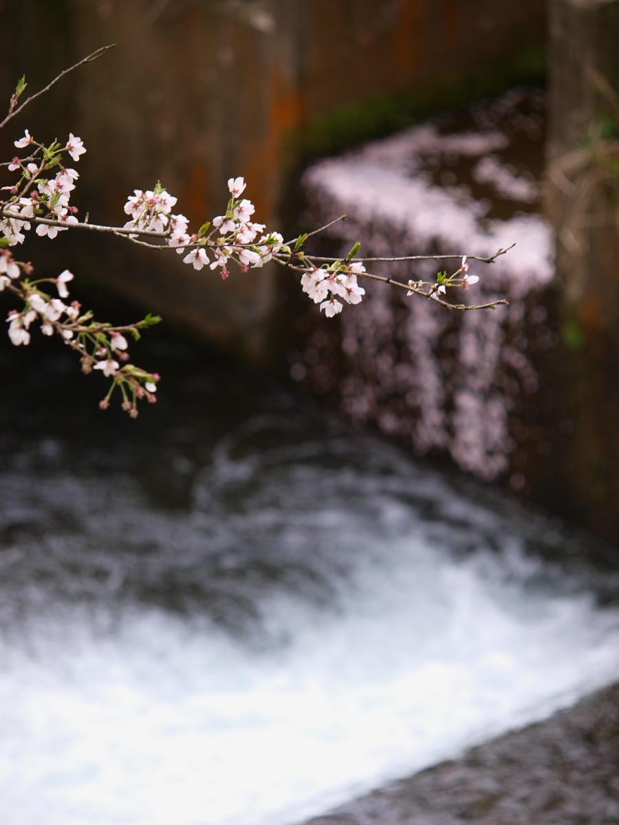 春の琵琶湖を一周ブログ旅 安曇川_f0021869_5294234.jpg