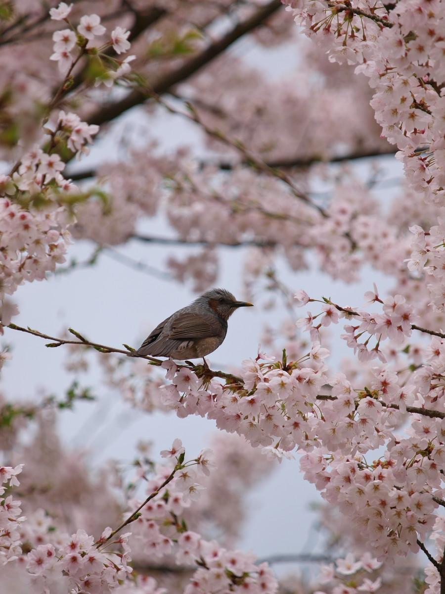 春の琵琶湖を一周ブログ旅 安曇川_f0021869_530955.jpg