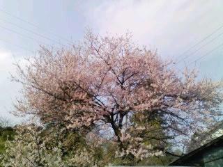やっと桜が・・・_b0169403_23343312.jpg