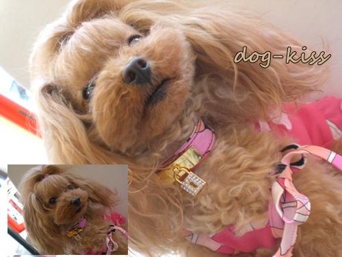 Dog-kiss Secret・エミリオ・カラー&リーシュ(フクシア)_b0084929_14451821.jpg