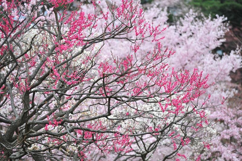 弘前桜_f0050534_8271682.jpg