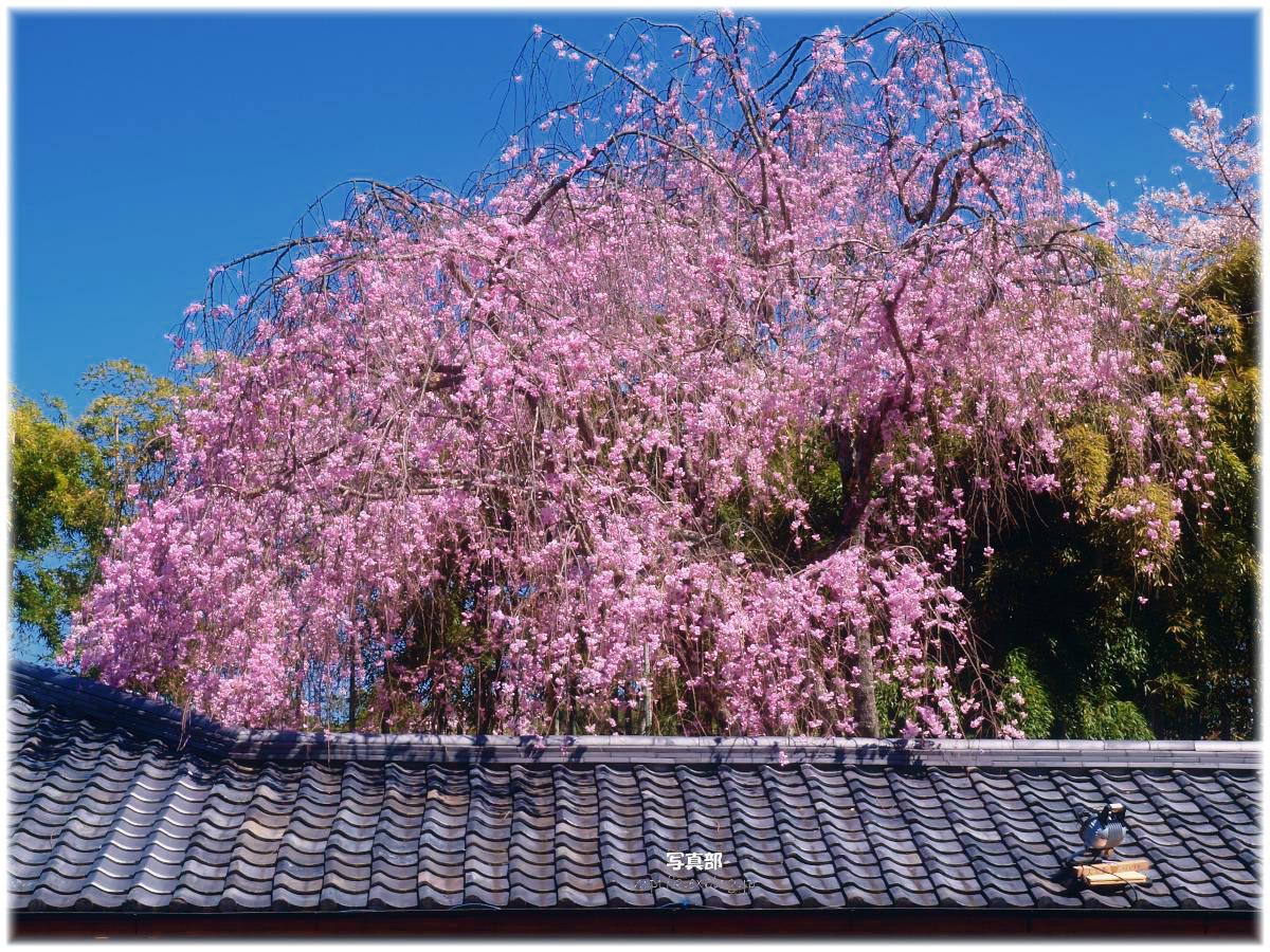 京都 嵐山 桜_f0021869_22374685.jpg