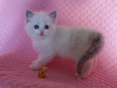 ラグドールの子猫・リオ'子_e0033609_16113255.jpg