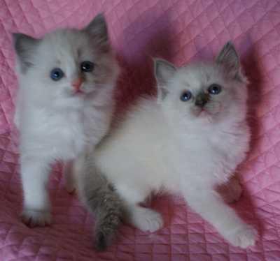 ラグドールの子猫・リオ'子_e0033609_16121519.jpg