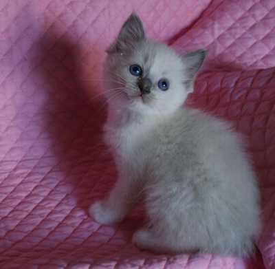 ラグドールの子猫・リオ'子_e0033609_16122973.jpg