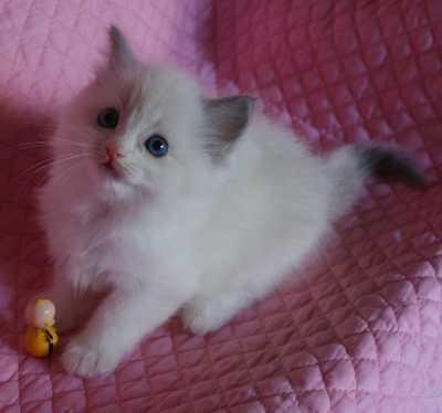 ラグドールの子猫・リオ'子_e0033609_16164227.jpg