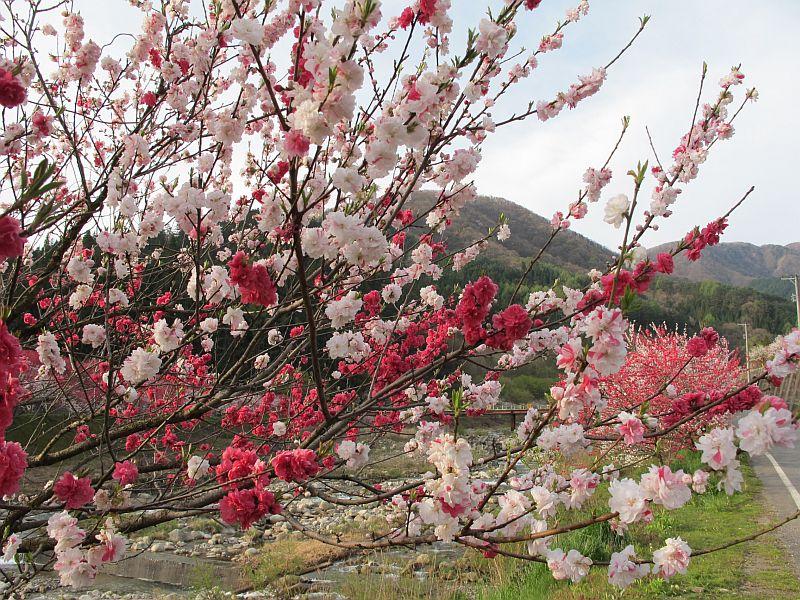 強烈に美しい春の移り変わりとGRBの芳醇なる熟成_f0076731_7424113.jpg