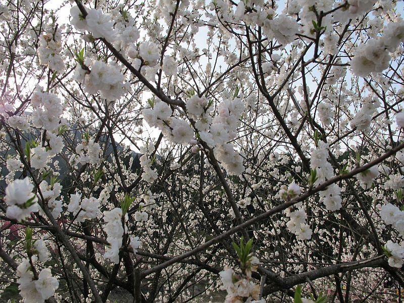 強烈に美しい春の移り変わりとGRBの芳醇なる熟成_f0076731_7425773.jpg