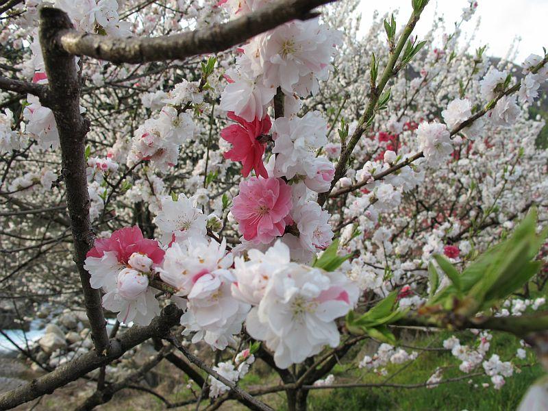 強烈に美しい春の移り変わりとGRBの芳醇なる熟成_f0076731_7431113.jpg